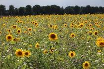 Sonnenblumenfeld von alsterimages