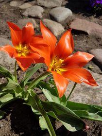 Tulpe Aladin von alsterimages