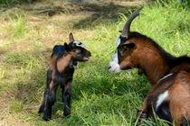 Junges Zicklein meckert mit seiner Ziegen Mama von Claudia Evans