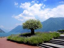 SCHWEIZ - TESSIN - LUGANO - LUGANER SEE. Olivenbaum an der Promenade. von li-lu