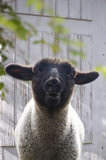 Lamm vor weißer Tür von Heidi Bollich