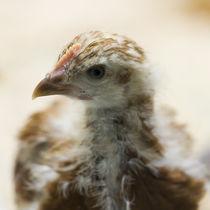 Hühner Küken von Heidi Bollich
