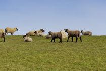 Schafe auf dem Deich von Heidi Bollich