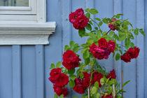Rosen vor schwedischem Haus von Peter Bergmann