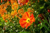 Mohnblume im Gegenlicht von Renate Dohr