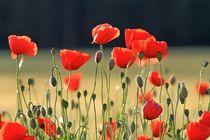 Mohnblumen im Feld von Renate Dohr