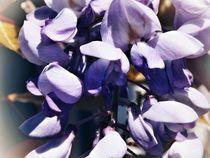 Wisteria - Glicinia flowers von bebra
