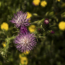 purple thistle flowers by césarmartíntovar cmtphoto