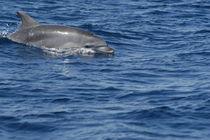 Strelica, ein GRD-Patendelfin aus Kroatien by Gesellschaft zur Rettung der Delphine e.V.