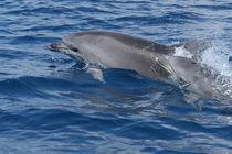Mutter & Kind in der kroatischen Adria von Gesellschaft zur Rettung der Delphine e.V.