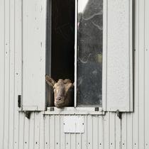 Hallo, Du Ziege! von Thomas Schaefer
