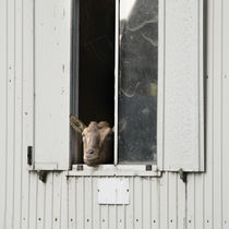 Hallo, Du Ziege! by Thomas Schaefer