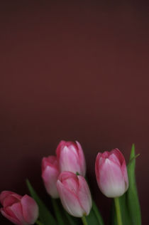 Tulpen II by Thomas Schaefer