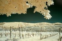 Blick über die Weinberge bei Trittenheim an der Mosel (Infrarot) von bauer-photography