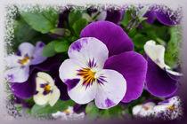 Purple white pansies by feiermar