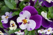 Purple white pansy cutout by feiermar