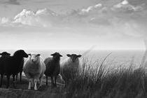 Schafe  by Justine Høgh