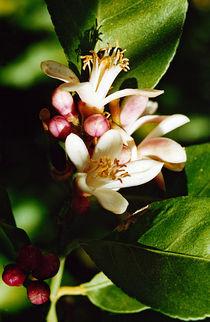 Zitronenblüte von Jens Uhlenbusch