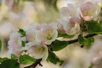 'Apfelblütenzweig' von Christine Horn