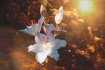 Lilien von Claudia Evans