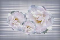 Pink gray roses by feiermar