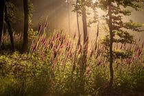 Fingerhut im Morgenlicht (Original)  von Yvonne Albe