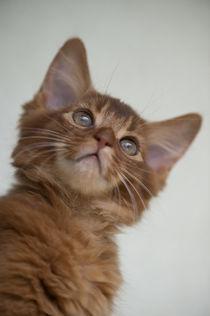 Somali Kitten von Heidi Bollich