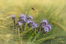 Phaceliablüten mit Getreide und Biene von Christine Horn