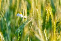 Cornfield blossom 306920 by Mario Fichtner