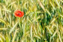 Cornfield blossom 312320 von Mario Fichtner