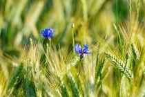Cornfield blossom 312820 von Mario Fichtner