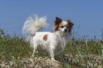 Chihuahua / 1 von Heidi Bollich