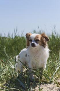 Chihuahua / 2  by Heidi Bollich