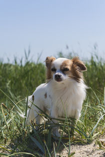 Chihuahua / 2  von Heidi Bollich