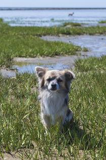 Chihuahua / 12 von Heidi Bollich
