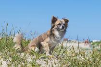 Chihuahua / 5 von Heidi Bollich