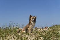 Chihuahua / 4 von Heidi Bollich