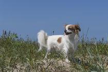 Chihuahua / 3 von Heidi Bollich