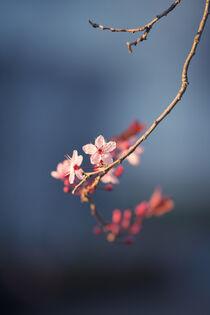 Mandelblüte von Yvonne Albe