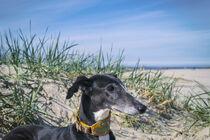 Galgo am Nordsee Strand von Heidi Bollich