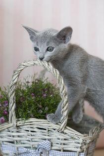 Russisch Blau Kätzchen von Heidi Bollich