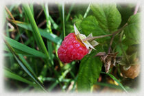 A ripe raspberry by feiermar