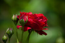 Rote Rose by Petra Dreiling-Schewe