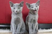 Russisch Blau Kittens by Heidi Bollich