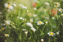 White daisies on a summer meadow von Iryna Mathes