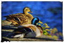 Entenpaar  von Sandra  Vollmann