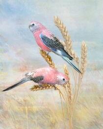 Bourkes Parrot by Trudi Simmonds