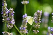 Schmetterling auf Lavendel 99 von Erhard Hess