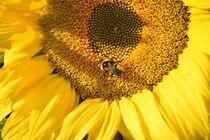 Sonnenblume mit Hummel by Susanne Edele
