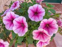 rosa Petunien von Heike Loos